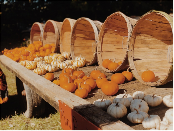 Pumpkins on display at Shady Lane Farms. Every year, the pumpkin patch includes a variety of pumpkin shapes and sizes.